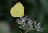 Pieridae粉蝶科:亮色黃蝶/臺灣黃蝶