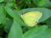 Pieridae粉蝶科:雌白黃蝶(雄)d 136.jpg