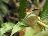 Pieridae粉蝶科:淡紫粉蝶DSCN1017.JPG