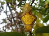 蝶蛹:黃裳鳳蝶蛹PB040213.JPG