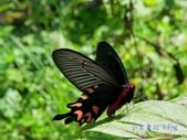 Papilionidae鳳蝶科:長尾麝鳳蝶/台灣麝香鳳蝶 Byasa impediens