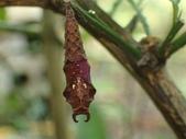 蝶蛹:黃三線蝶蛹P3300111.JPG