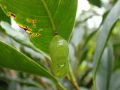 蝶蛹:圓翅紫斑蝶蛹P5040493.JPG