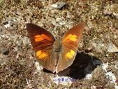 Lycaenidae灰蝶科:PB240125A.JPG