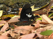 Papilionidae鳳蝶科:臺灣白紋鳳蝶DSCN3836.JPG