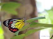 Pieridae粉蝶科:紅紋粉蝶