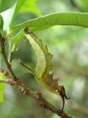 蝶蛹:石牆蝶前蛹P3300123.JPG