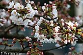 H22.島根松江 早咲きの桜が開花する早春の玉造溫泉を訪ね:IMG_7386.jpg
