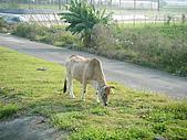 六龜溫泉:放牛吃草
