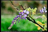 紫藤咖啡園:DSC_9644.JPG