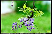 紫藤咖啡園:DSC_9650.JPG
