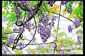紫藤咖啡園:DSC_9567.JPG
