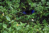 荒野台中20成年禮 :紫斑蝶.jpg