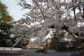 2017日本櫻花盛開:DSC_4824.jpg