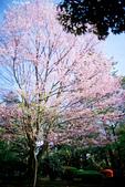 2017日本櫻花盛開:DSC_4208.jpg