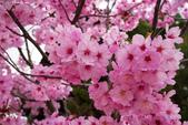 2017日本櫻花盛開:DSC_5290.jpg