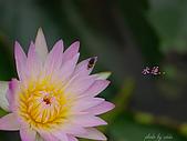 桃園荷花季-蓮花:DSC_6950.jpg