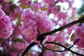 2017日本櫻花盛開:DSC_4025.jpg