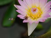 桃園荷花季-蓮花:DSC_6975.jpg