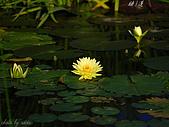 桃園荷花季-蓮花:DSC_8988.jpg