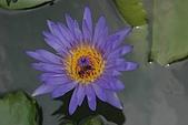 觀音蓮花:香水蓮3