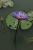 觀音蓮花:香水蓮4