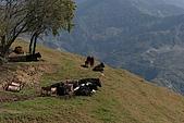 2006春節之清靜農場:牛群
