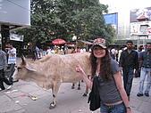 九月抓飛印度蓮花寺:路上的印度聖牛,他們比人還值錢勒