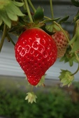旅遊紀錄:吳家高架草莓-苗栗大湖草莓