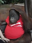 090520泰國旅遊2-曼谷+芭達雅:004-1會偷偷搔人家養的猩猩.jpg