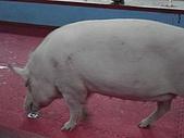 090520泰國旅遊2-曼谷+芭達雅:004-2會算數的豬-阿蓮.jpg