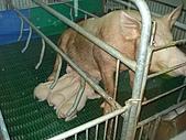 090520泰國旅遊2-曼谷+芭達雅:006餵小豬的母豬.jpg