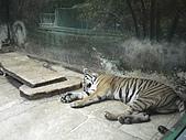 090520泰國旅遊2-曼谷+芭達雅:007懶懶的老虎.jpg