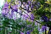 浪漫紫藤花園:A014.jpg