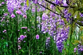 浪漫紫藤花園:A015.jpg