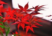 槭紅太平山:S003.jpg