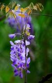 浪漫紫藤花園:A017.jpg
