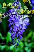 浪漫紫藤花園:A021.jpg