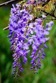 浪漫紫藤花園:A022.jpg