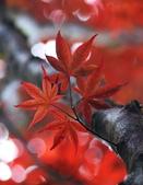 槭紅太平山:S016.jpg