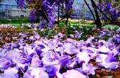 浪漫紫藤花園:A027.jpg
