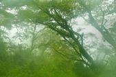 太平山山毛櫸步道:山毛櫸 (14).jpg