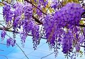 浪漫紫藤花園:A005.jpg