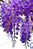 浪漫紫藤花園:A006.jpg