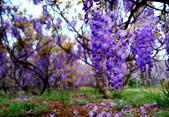 浪漫紫藤花園:A009.jpg