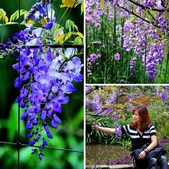浪漫紫藤花園:相簿封面