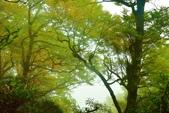 太平山山毛櫸步道:山毛櫸 (10).jpg