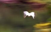 鷺鷥語彙:S012.jpg
