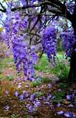 浪漫紫藤花園:A011.jpg