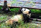 101.7.7成都大熊貓繁育研究基地:DPP熊貓18.JPG